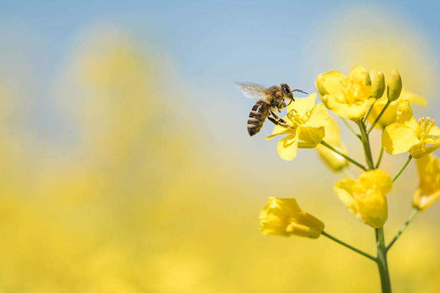 honey bee in a canola flower