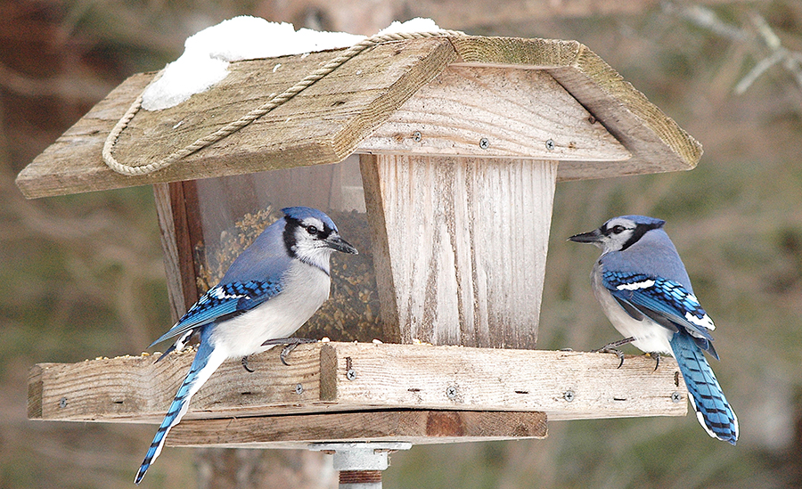 bird feeder with blue jays