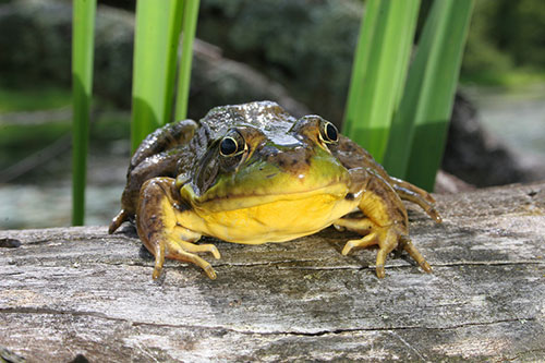 bullfrog, invasive species in B.C.
