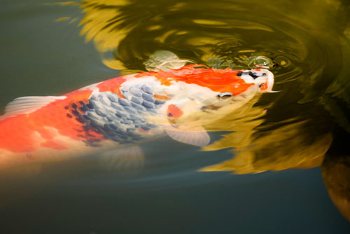 koi, invasive species