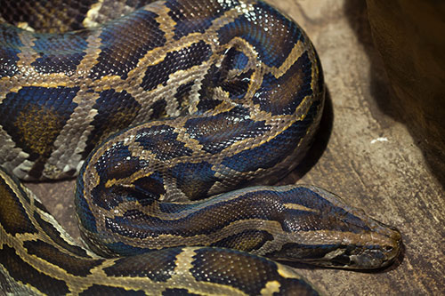 burmese python, invasive species in Florida